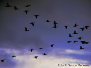 Revoada de Patos na Lagoa do Portinho em Parnaíba