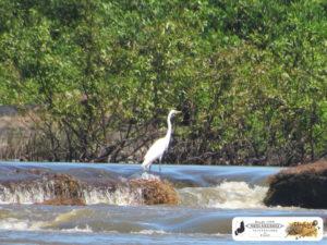 Garça branca, na foz do Rio Piracuruca, localidade Barra do Piracuruca