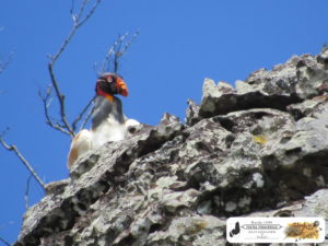 Urubu-rei, o guardião da Serra do Morcego em Caxingó-PI