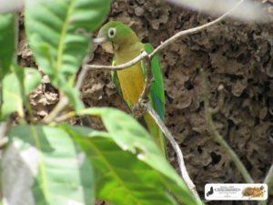 Curica de Feijão (Periquito-da-Caatinga), vigiando o seu ninho no cupinzeiro - Fazenda Fuzil - São José do Divino-PI