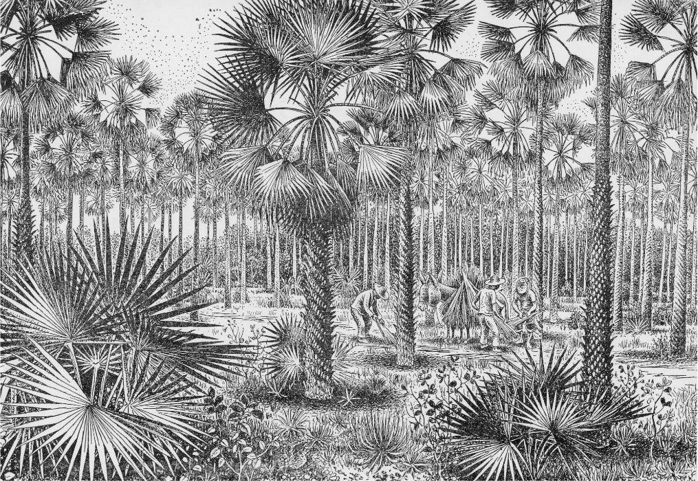 A árvore símbolo do Piauí e sua relação com Piracuruca