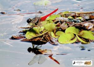 As águas do Rio Piracuruca subindo e essa libélula flamenguista deixa a sua sombra, onde há poucas horas era terra seca.