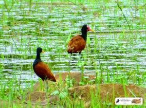 Pássaros da Lagoa do Fuzil - São José do Divino - Piauí. Aqui um casal de jaçanã.