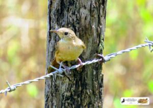 Pássaros da Lagoa do Fuzil - São José do Divino - Piauí. O sempre simpático rouxinol (rinxinó).