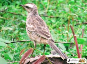 Pássaro rajado - Quintal do Curiólogo