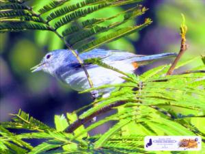 O pequeno pássaro azul - Quintal do Curiólogo