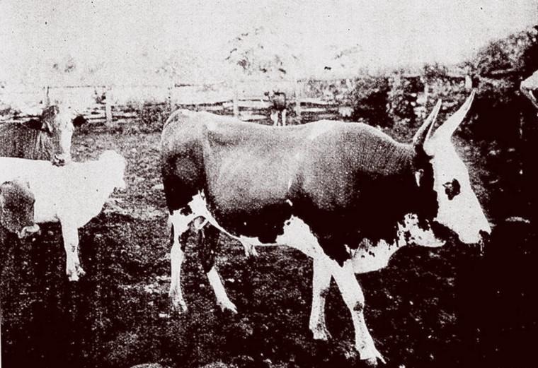 A morte da vaca que foi atropelada pelo trem que ia para o litoral do Piauí