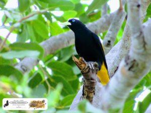 Japim ou Japuíra, pra nossa região é conhecido como Xexéu. Destaque para o seu lindo olho azul ciano. Povoado Vamos Vendo - Piracuruca-PI.