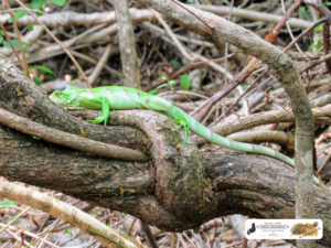 Iguana ou Camaleão, animal já urbano, mas que é bem mais bonito visto na floresta. Fazenda Fuzil - São José do Divino - PI.