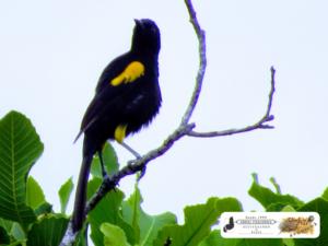 Primavera ou Pega Amarela, muito arisca é da mesma família do corrupião (Icteridae). Interior de São José do Divino - PI.