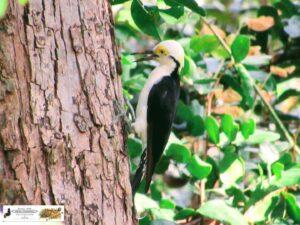 O pica-pau-branco é uma ave piciforme da família picidae. Também é conhecido como birro ou cri-cri, sendo estes nomes referentes ao seu canto. Foto de 27/04/2021, na Barragem Piracuruca.