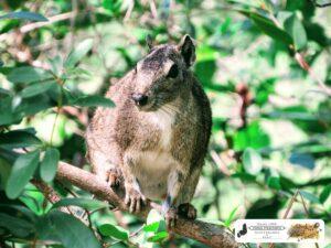 O Mocó é um roedor (Kerodon rupestris) da família dos caviídeos, encontrado em regiões pedregosas do Nordeste brasileiro, de pelagem acinzentada e desprovido de cauda. Esse é das Sete Cidades do Piauí.