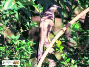 Esse é o Papa-Lagarta (Coccyzus melacoryphus). No Quintal do Curiólogo Setecidades.