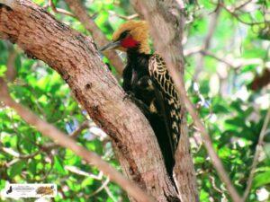O Pica-pau-de-cabeça-amarela, tem uma bela plumagem. É um dos maios bonitos da espécie. No Quintal do Curiólogo Setecidades.