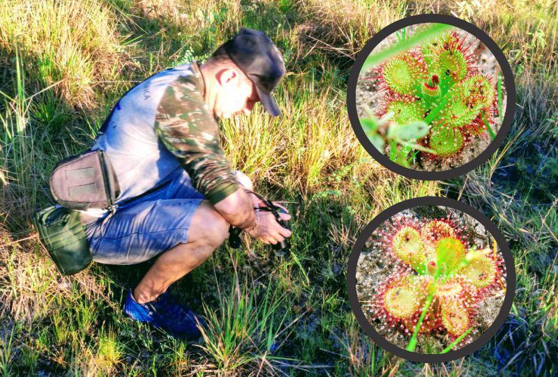 A pequenina planta carnívora existente também no Quintal do Curiólogo – Norte do Piauí