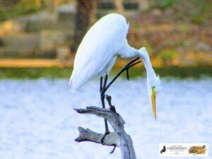 Na próxima vez que você for coçar o seu pescoço, tente fazer igual a essa Garça Branca.  Sim, e numa perna só ok. Foto na Barragem Piracuruca.